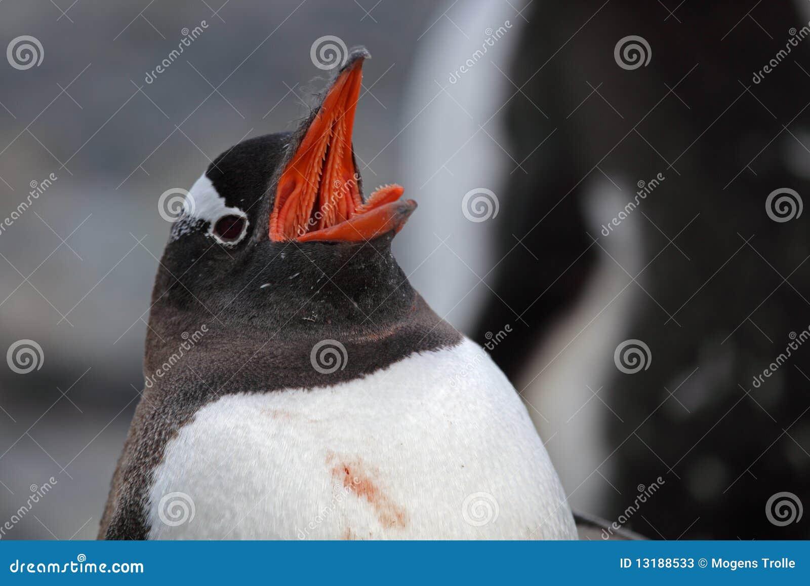 στενό gentoo της Ανταρκτικής penguin &epsil