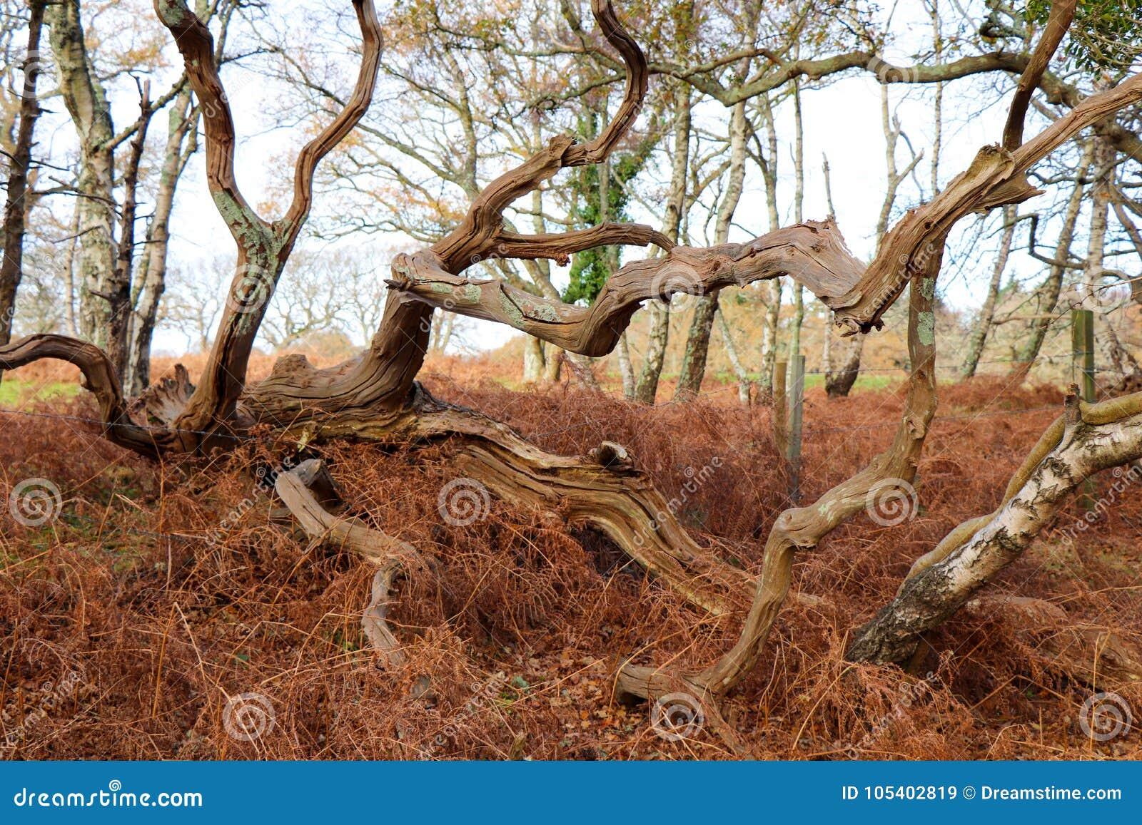 Download Στριμμένος κορμός δέντρων το φθινόπωρο Στοκ Εικόνα - εικόνα από δάση, νεφελώδης: 105402819