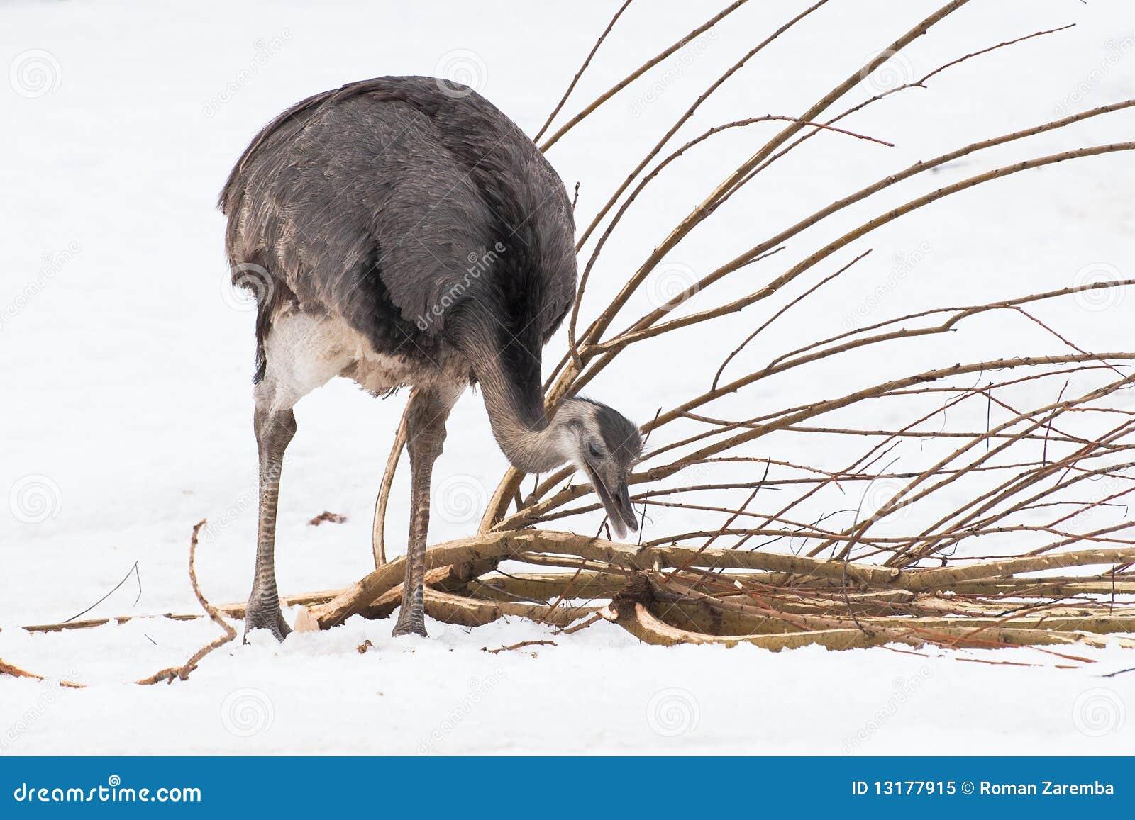στρουθοκάμηλος