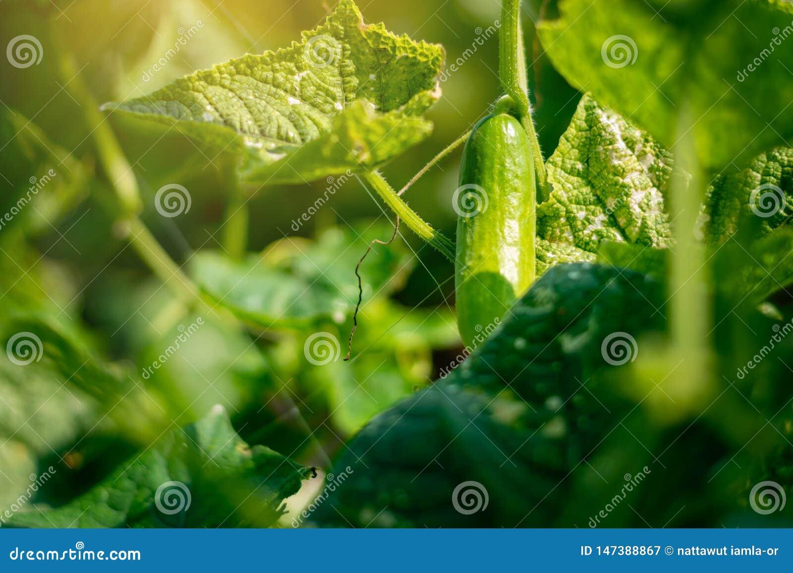 Συγκομιδή αγγουριών σε ένα μικρό εσωτερικό θερμοκήπιο Τα φρούτα αγγουριών αυξάνονται και είναι έτοιμα για τη συγκομιδή Ποικιλία τ