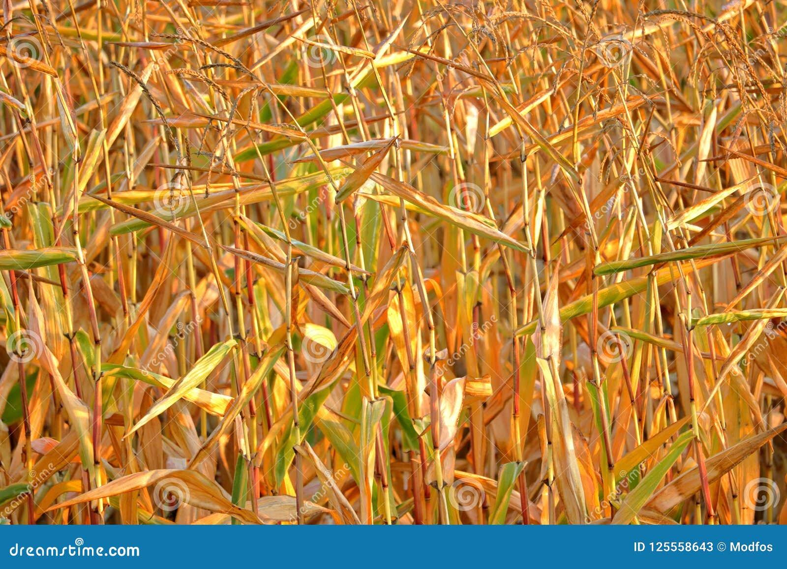 Συγκομιδή καλαμποκιού και αυστηρή ξηρασία