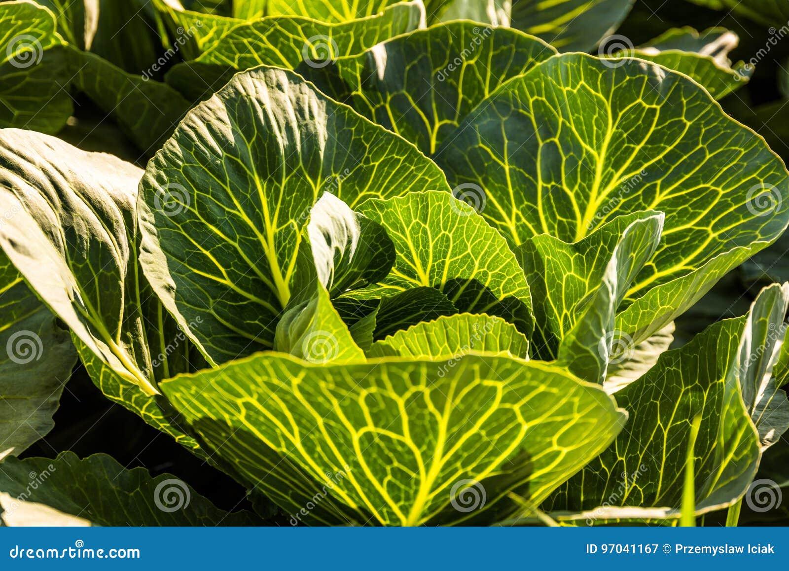 Συγκομιδές του λάχανου