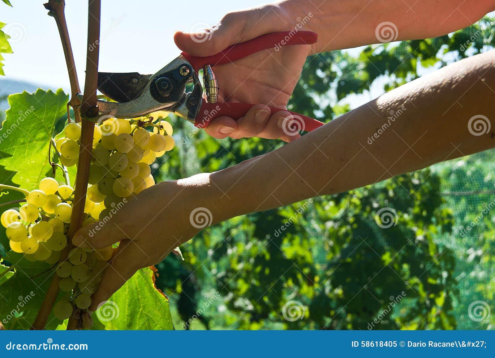 Συγκομιδή σταφυλιών Malvasia