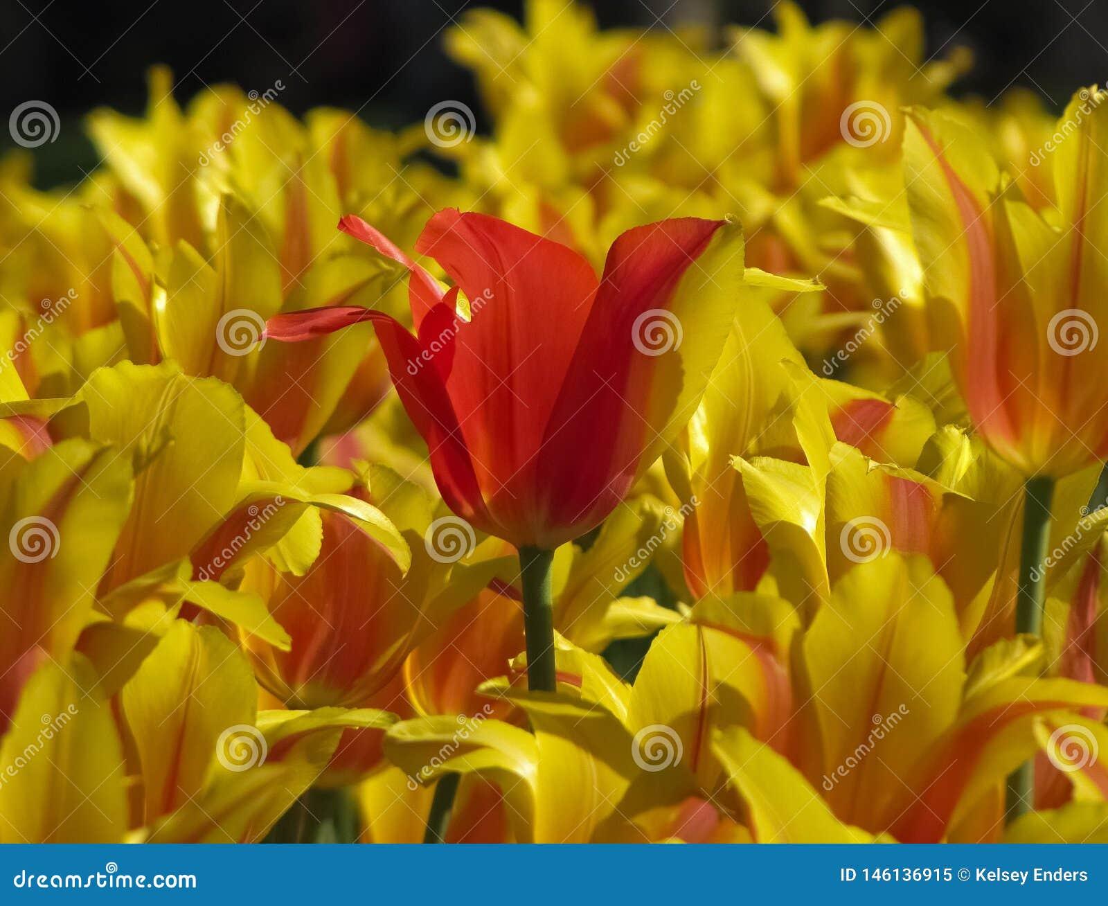 Συνήθως κόκκινη τουλίπα στη μέση των κίτρινων ριγωτών τουλιπών