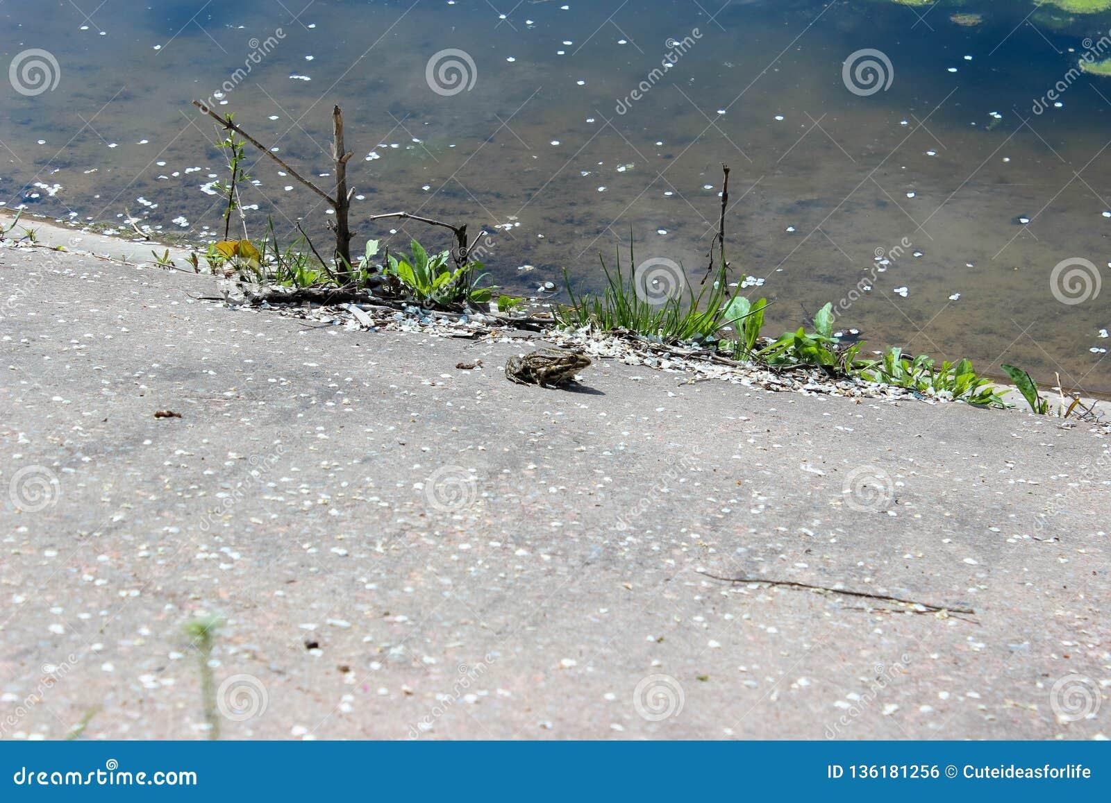 Συνεδρίαση βατράχων στη λίμνη ακτών