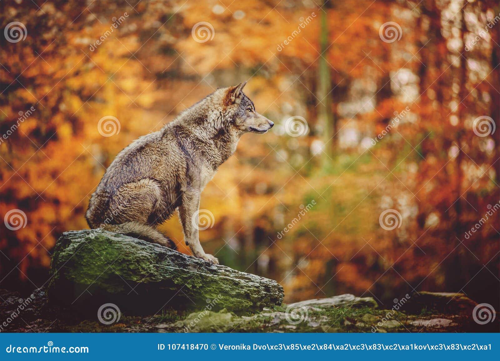 Συνεδρίαση λύκων στο Stone στο δάσος φθινοπώρου