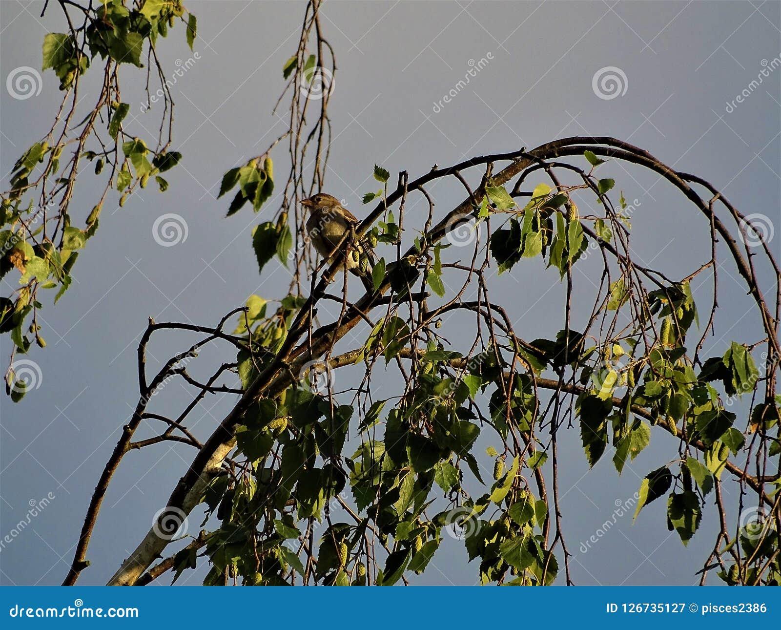 Συνεδρίαση σπουργιτιών ή finch σε μια σημύδα