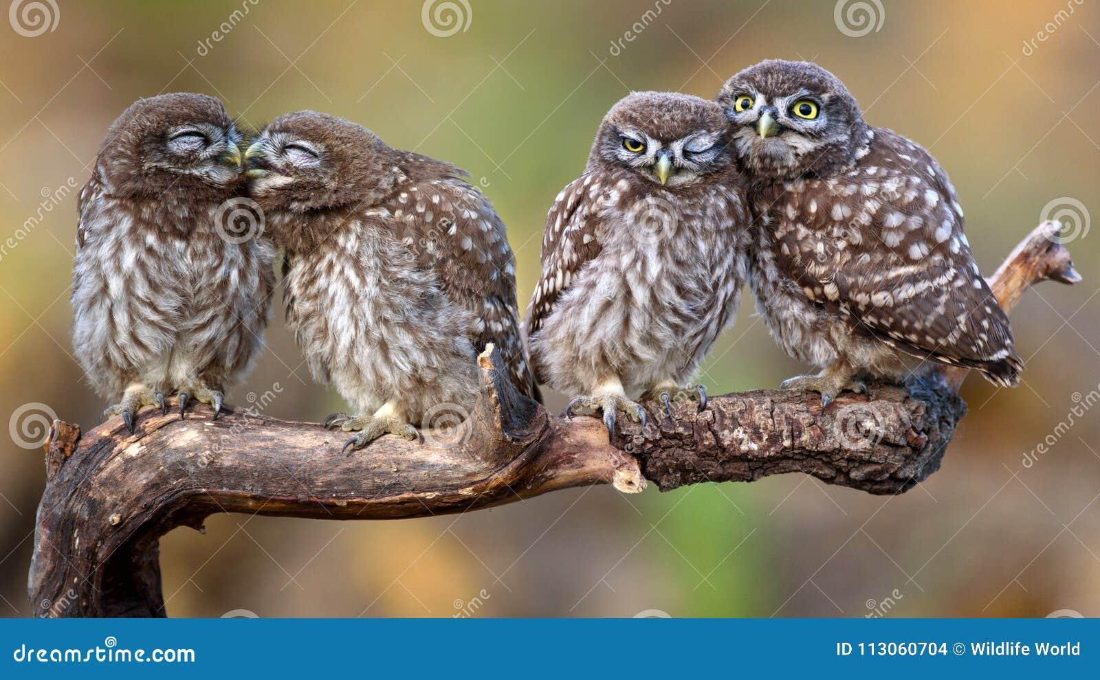 Συνεδρίαση noctua Athene τεσσάρων μικρή κουκουβαγιών ανά τα ζευγάρια σε ένα ραβδί