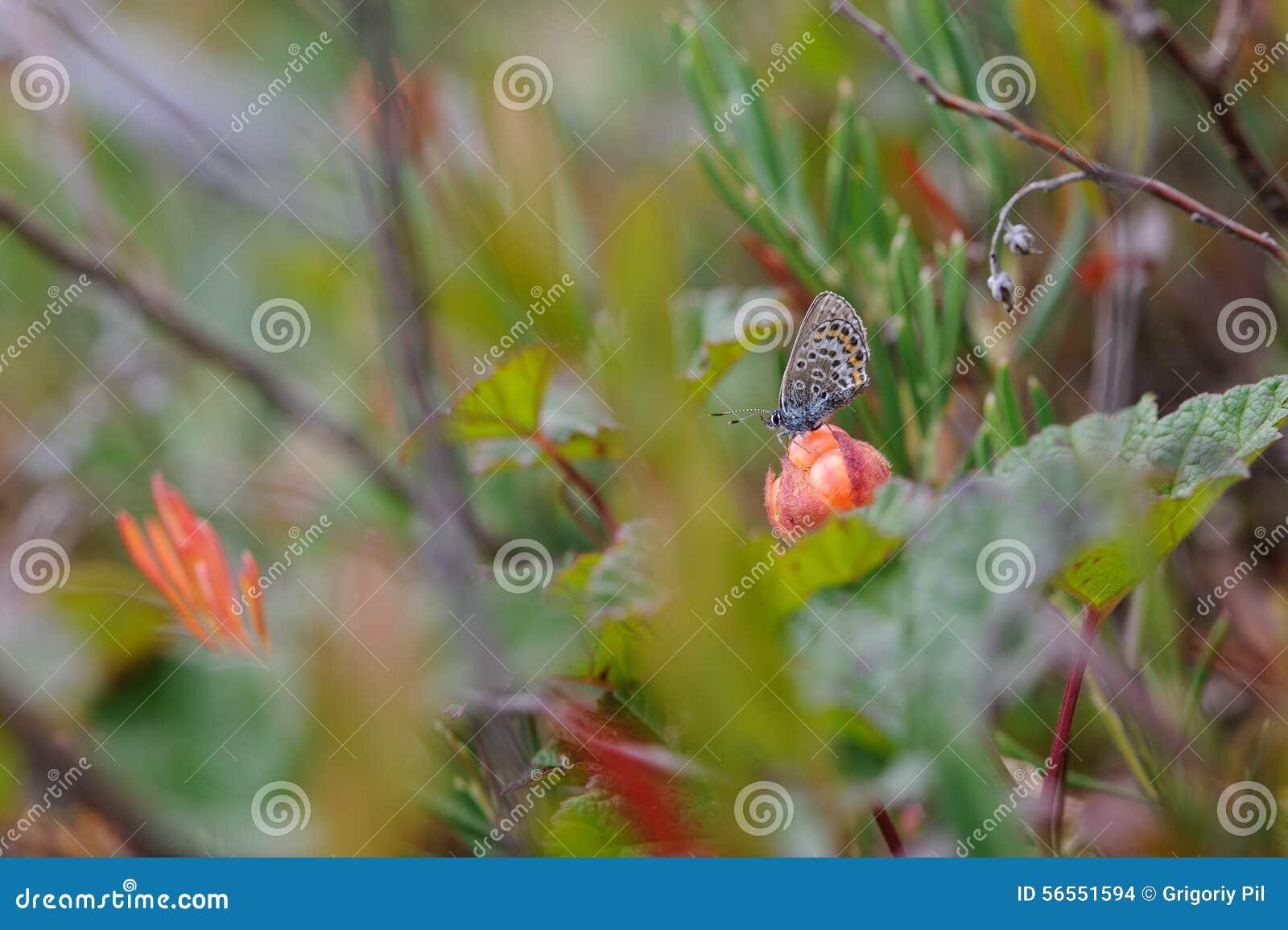 Download Συνεδρίαση πεταλούδων Cloudberry Στοκ Εικόνες - εικόνα από πεταλούδα, θάμνος: 56551594