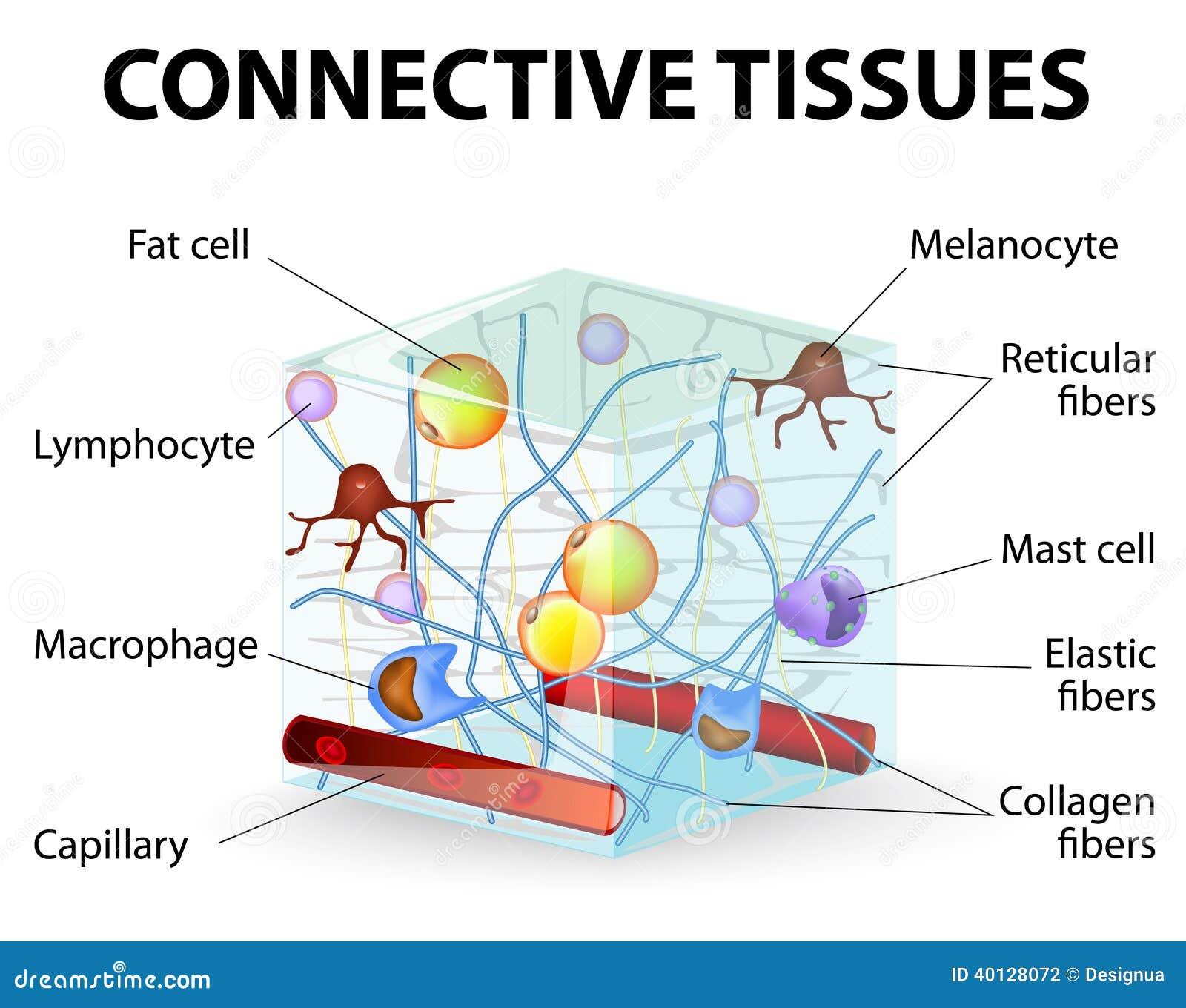 Συνδετικός ιστός