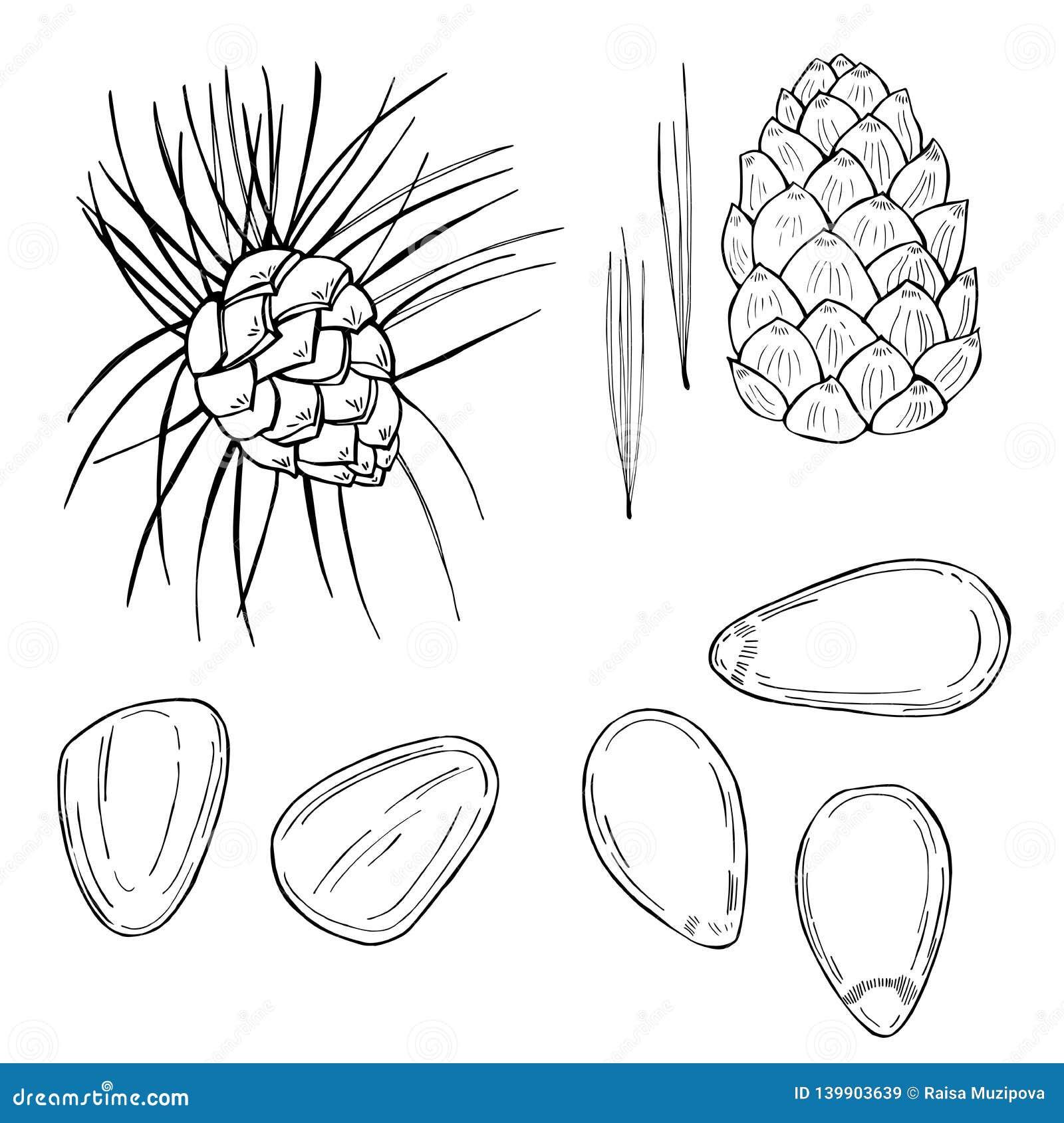 Συρμένα χέρι καρύδια Καρύδι πεύκων Διανυσματική απεικόνιση σκίτσων