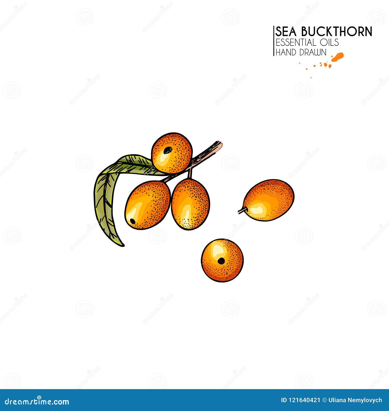 Συρμένο χέρι μούρο λευκαγκαθιών Διανυσματική χαραγμένη colorfull απεικόνιση Θεραπεύοντας τσάι και ιατρικό φαγώσιμο μούρο Τρόφιμα