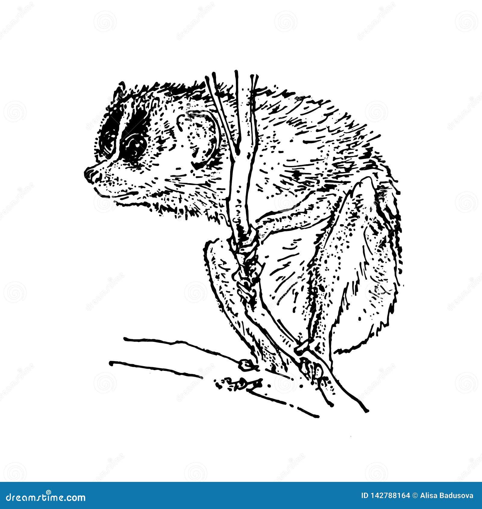 Συρμένο χέρι σκίτσο του Μαύρου koala στο άσπρο υπόβαθρο