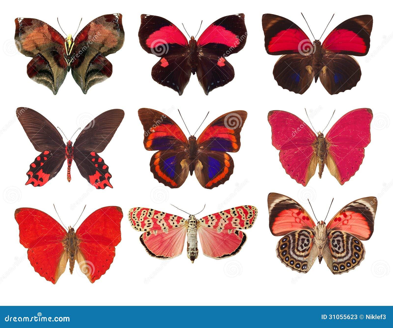 συλλογή των κόκκινων πεταλούδων σε ένα άσπρο υπόβαθρο