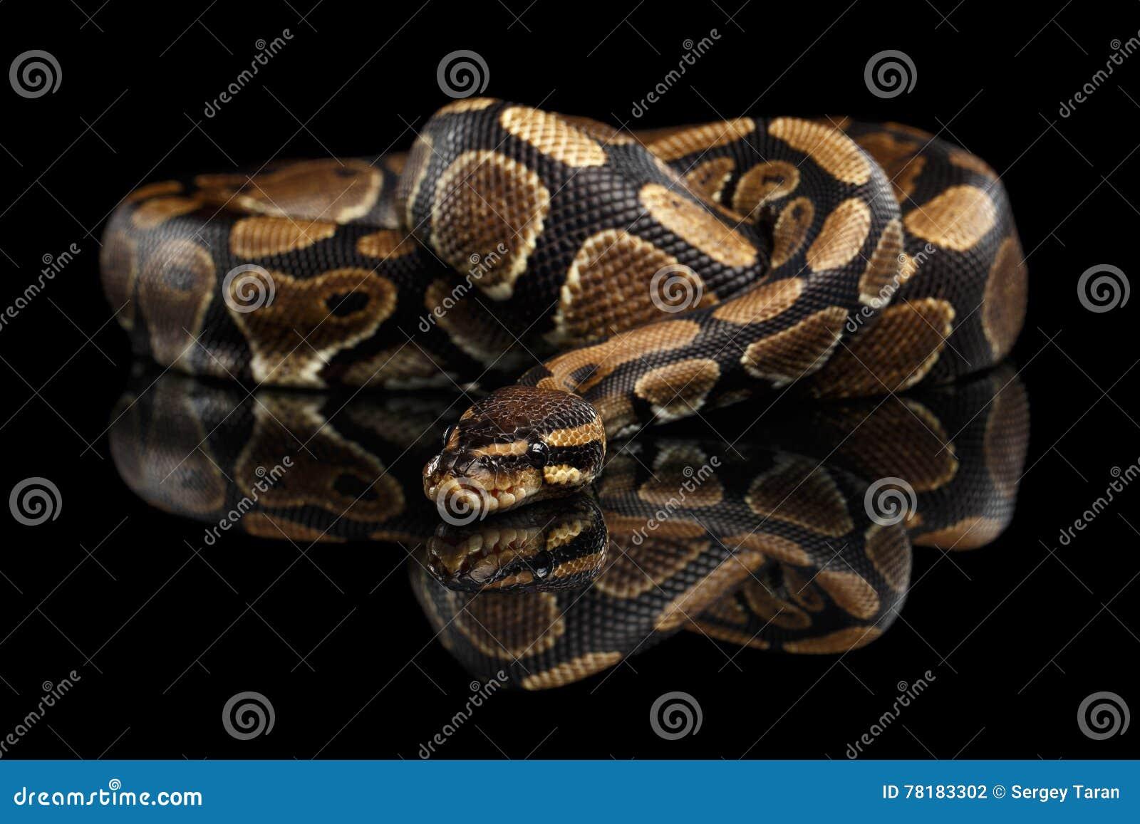 Σφαίρα ή βασιλικό φίδι python στο απομονωμένο μαύρο υπόβαθρο