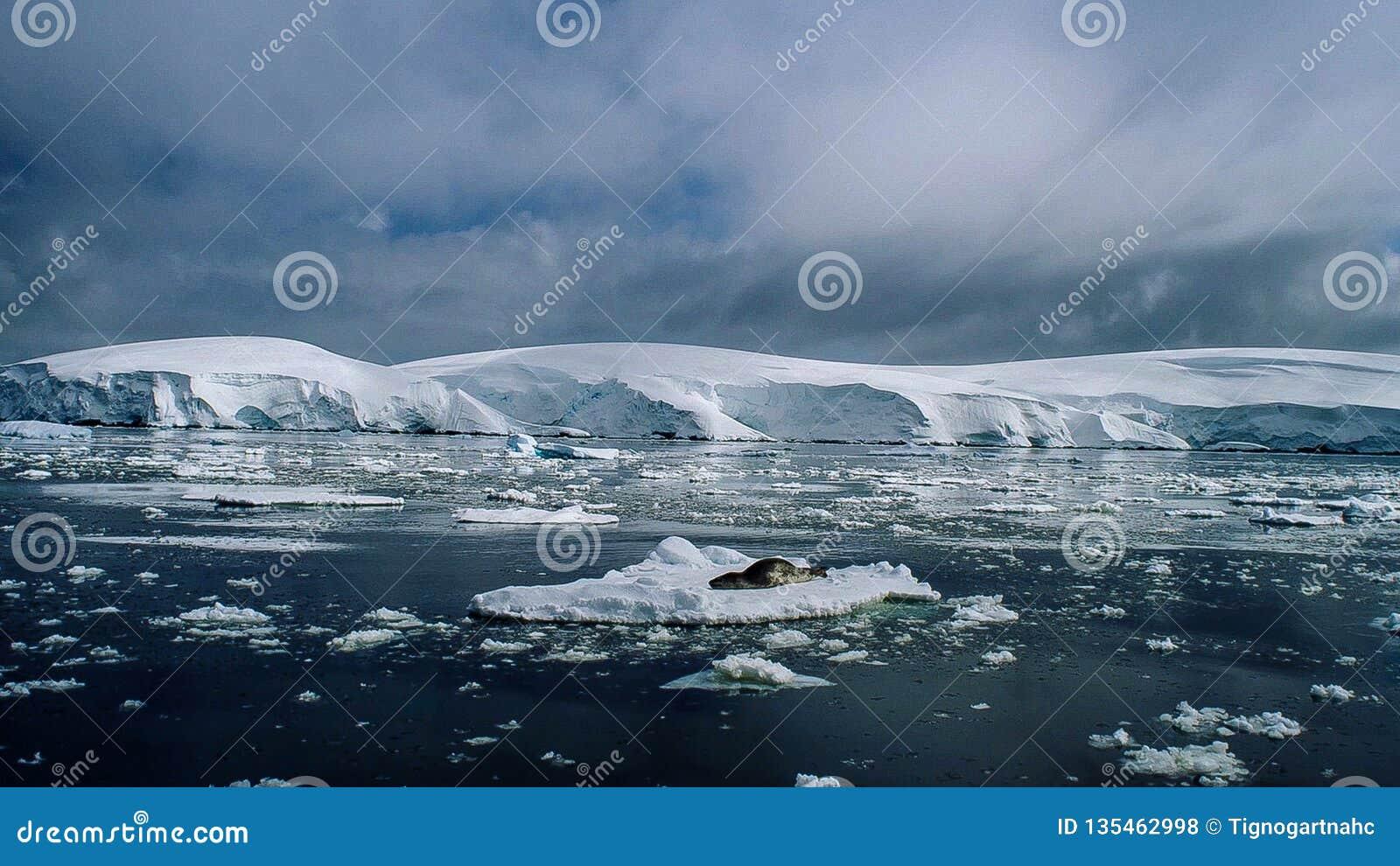 Σφραγίδα Hydrurga λεοπαρδάλεων leptonyx, ανταρκτική χερσόνησος