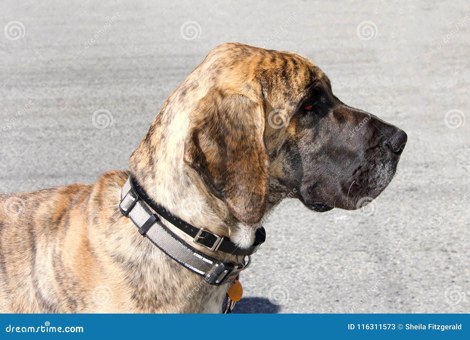 Σχεδιάγραμμα ενός μεγάλου σκυλιού Δανών brindle