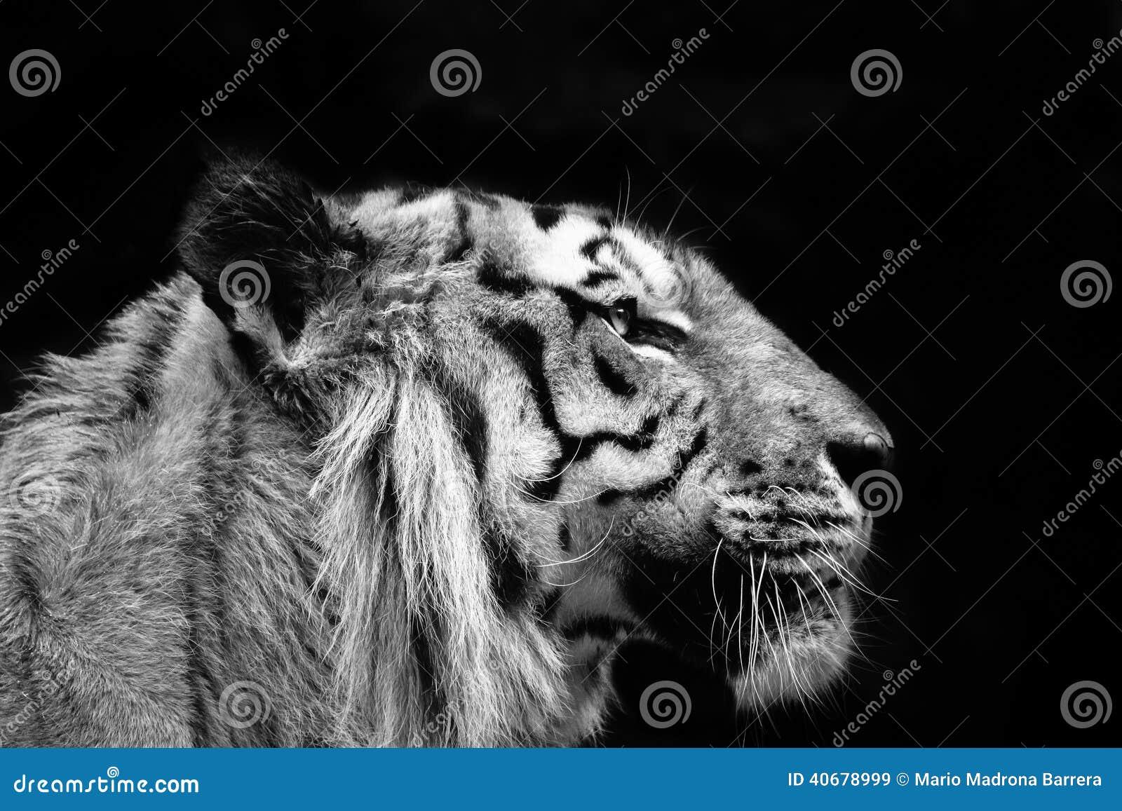Σχεδιάγραμμα τιγρών