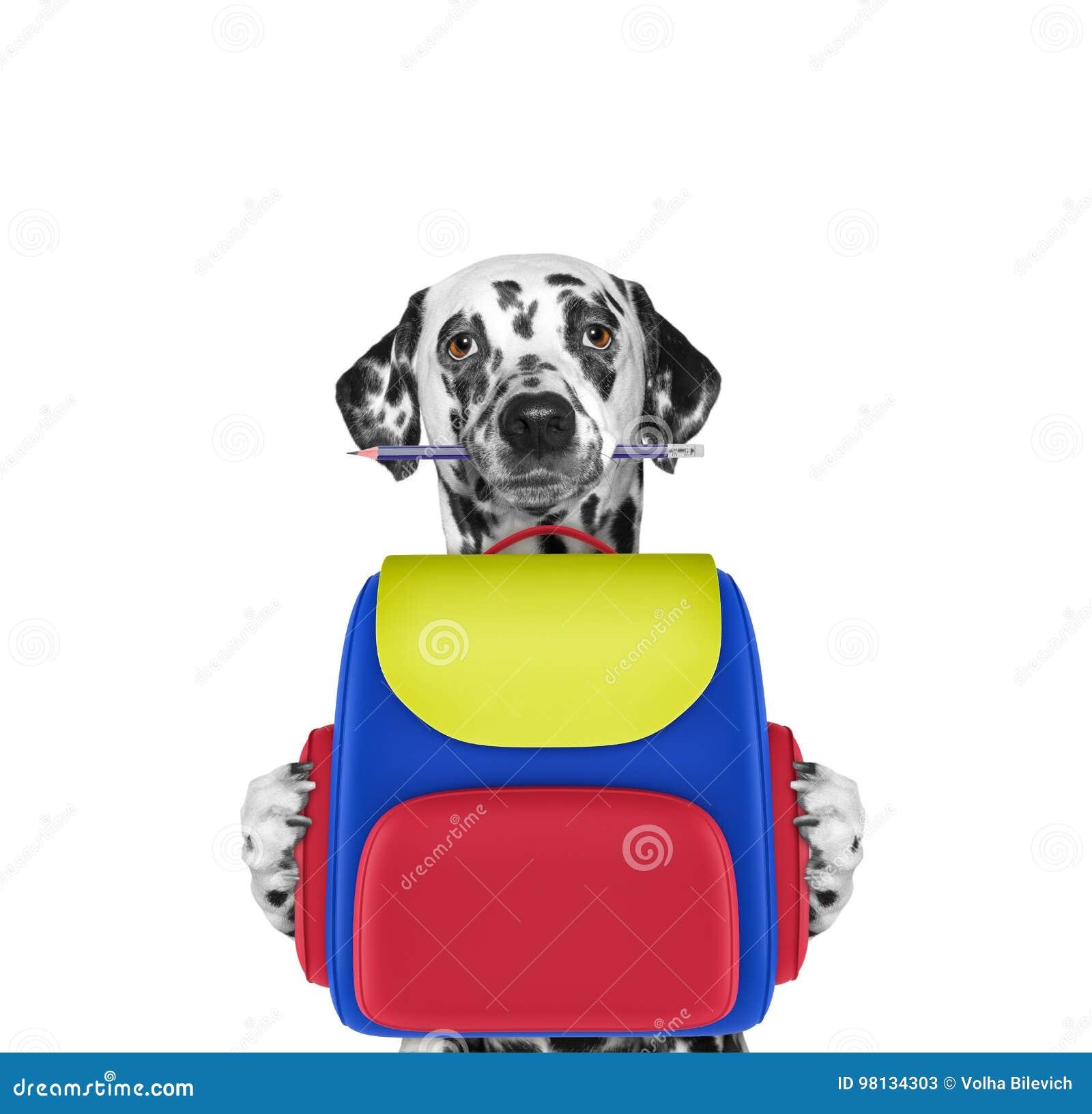 Σχολείο υπακοής σκυλιών - από τη Δαλματία με την τσάντα που απομονώνεται στο λευκό