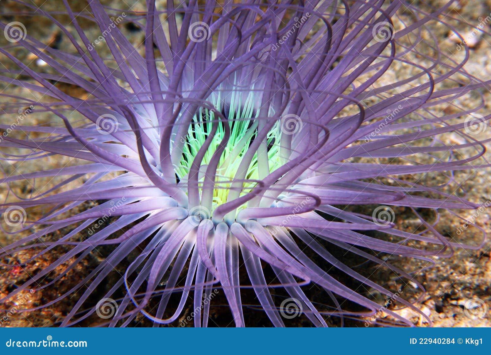 σωλήνας anemone