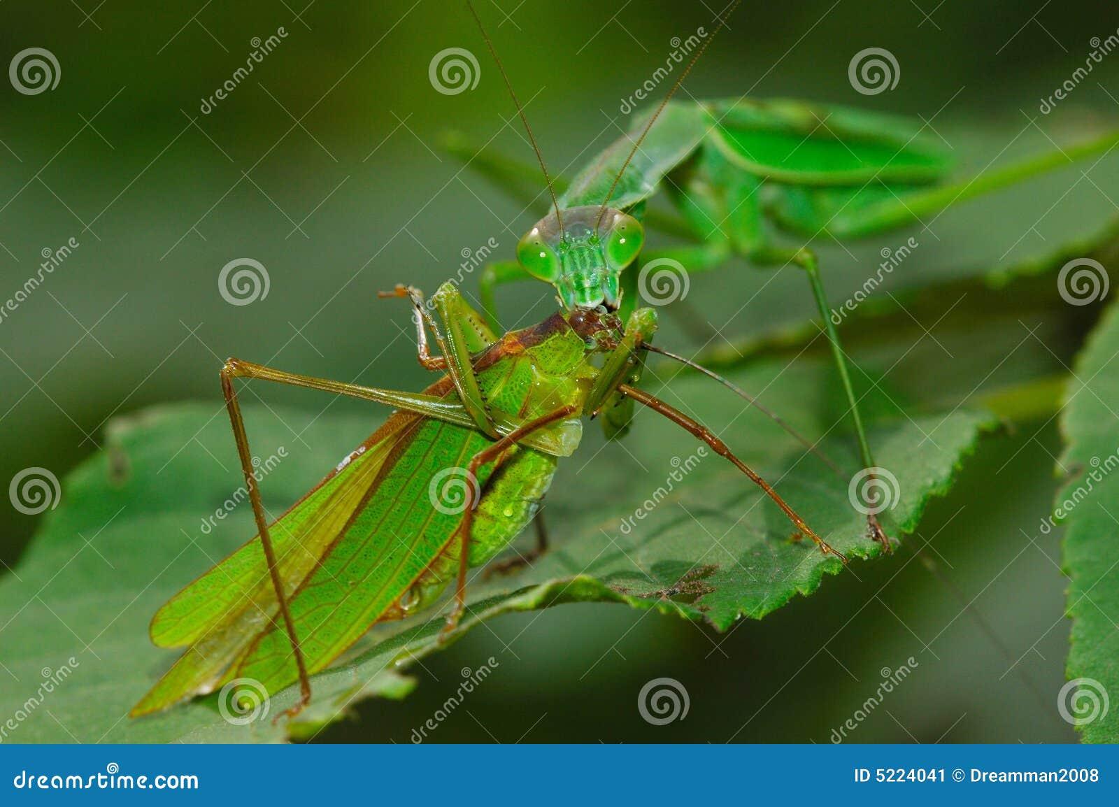 σύλληψη katydid των mantis