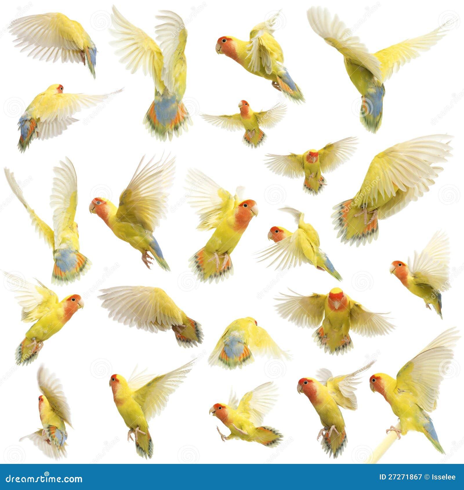 Σύνθεση του ροδοειδής-αντιμέτωπου πετάγματος Lovebird