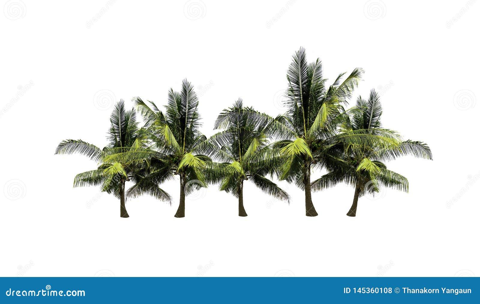 Σύνολο δέντρων καρύδων που απομονώνεται στο άσπρο υπόβαθρο