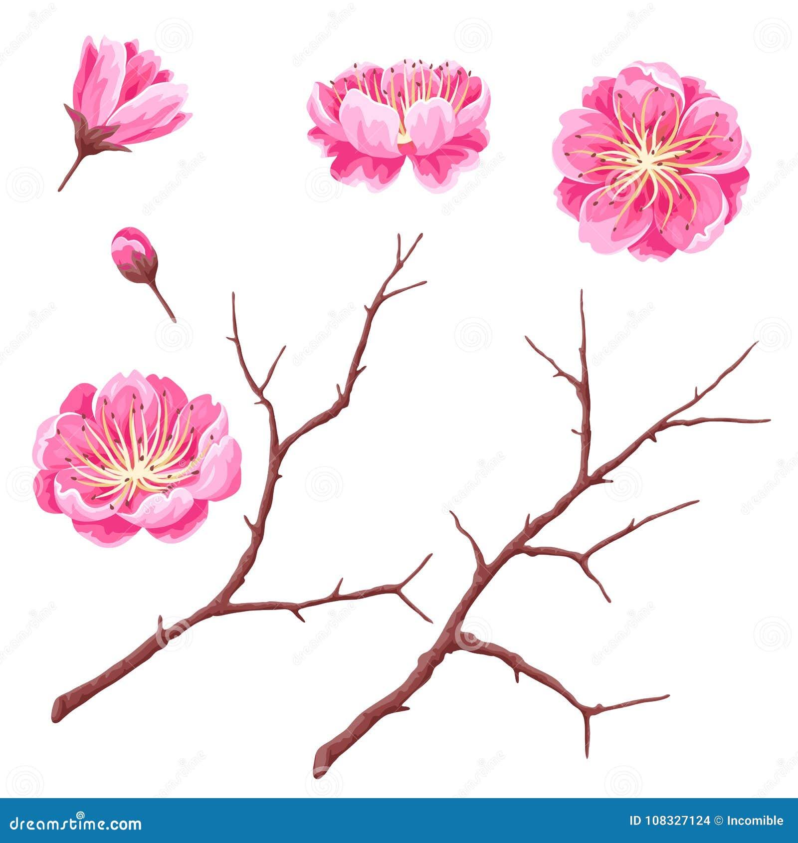 Σύνολο οφθαλμών sakura ή άνθους και κλάδων κερασιών Ιαπωνικά ανθίζοντας λουλούδια