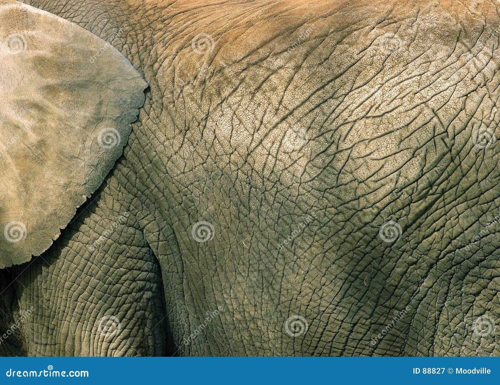 σύσταση δερμάτων ελεφάντων