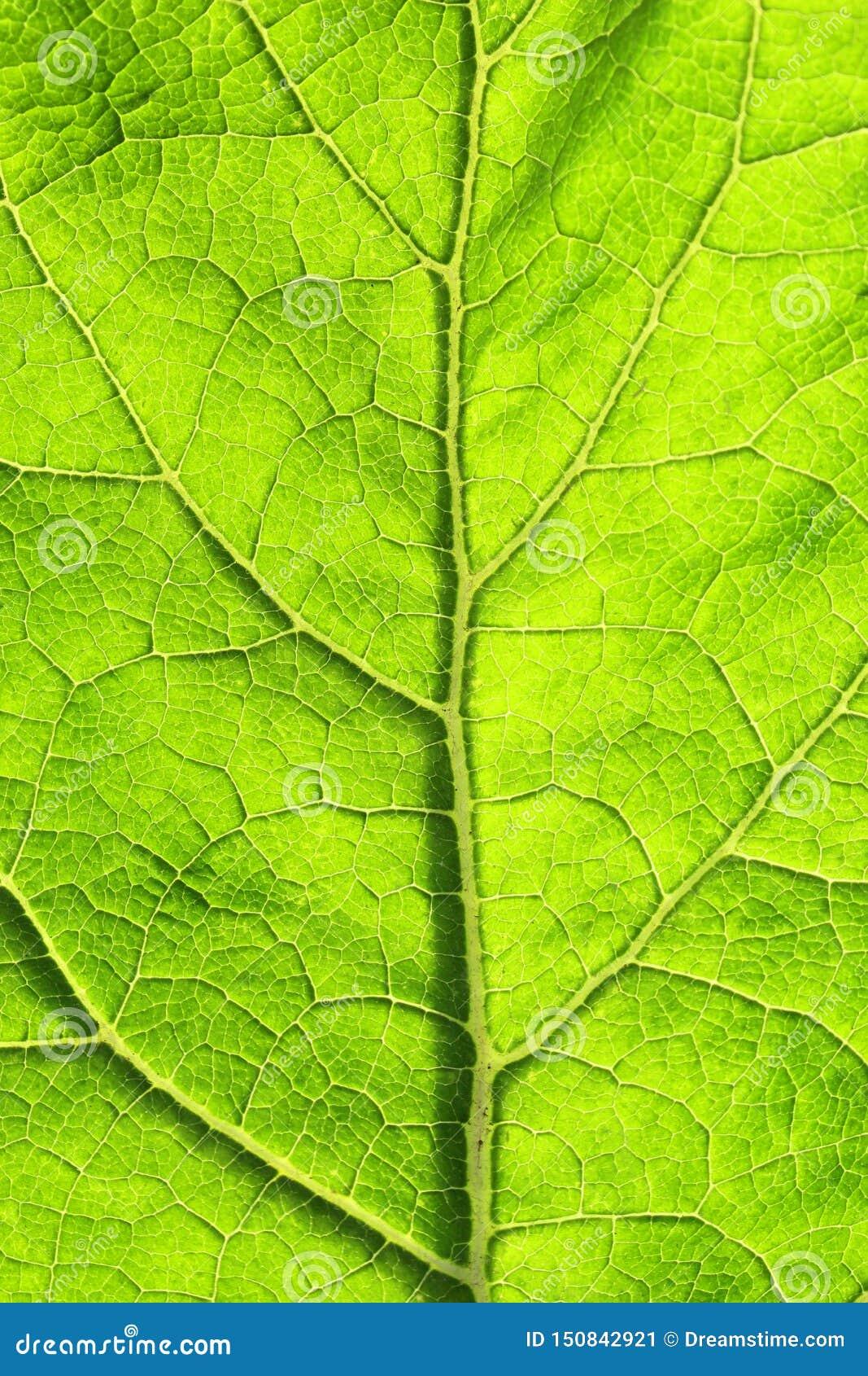 Σύσταση του πράσινου φύλλου με τις φλέβες