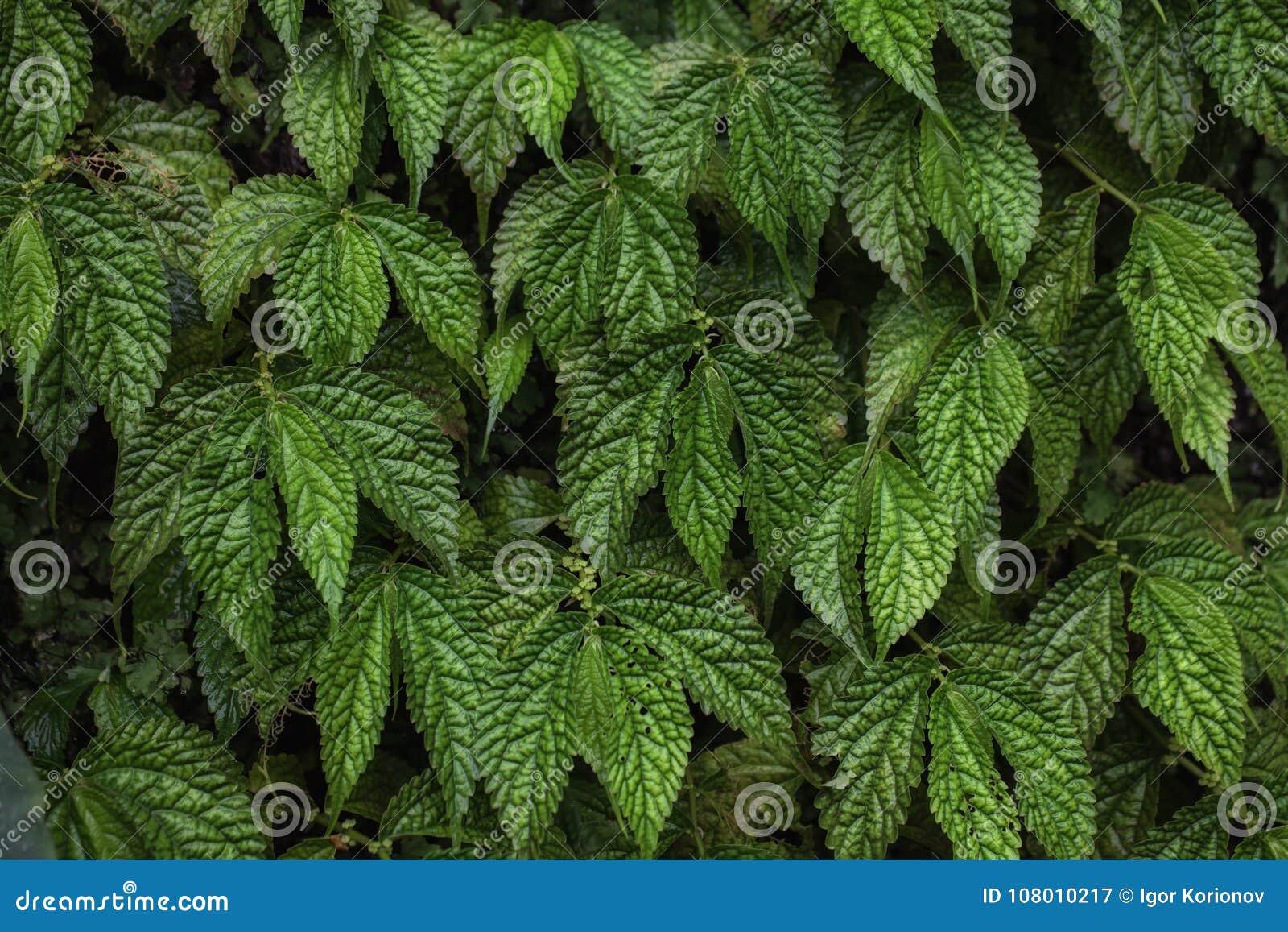 Σύσταση των πράσινων φύλλων σταφυλιών