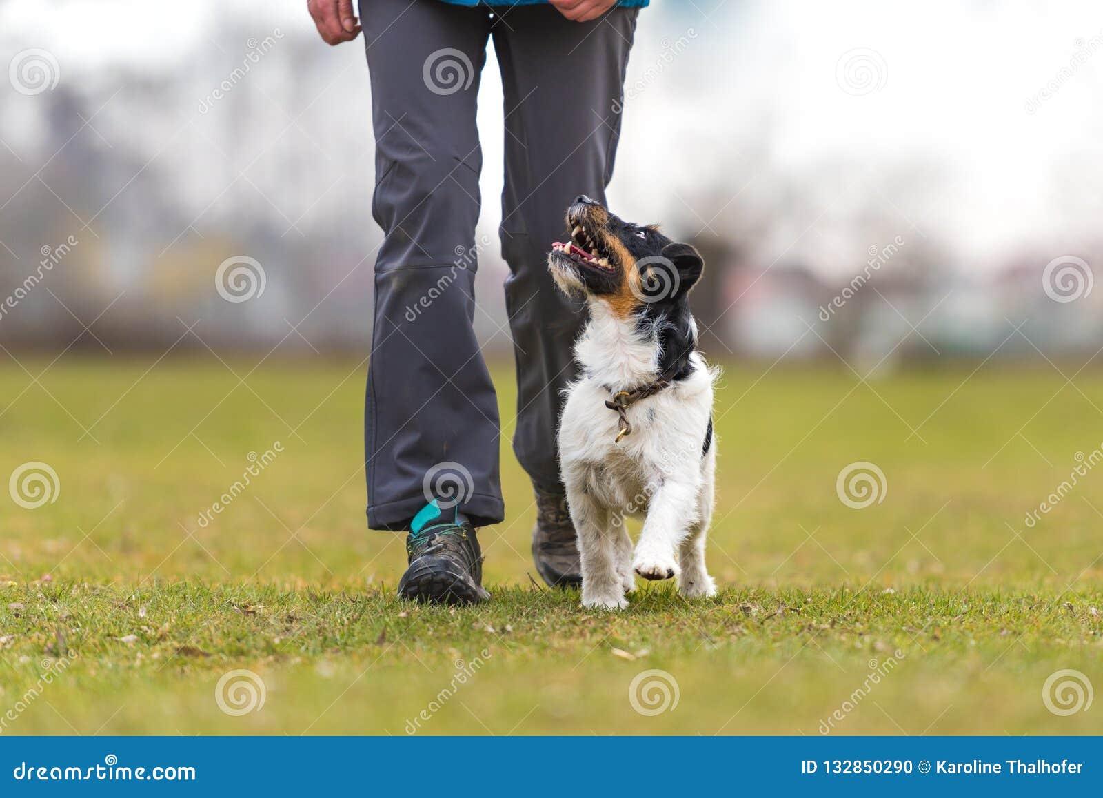 Τέλειο heelwork με ένα υπάκουο σκυλί τεριέ του Jack Russell αθλητισμός