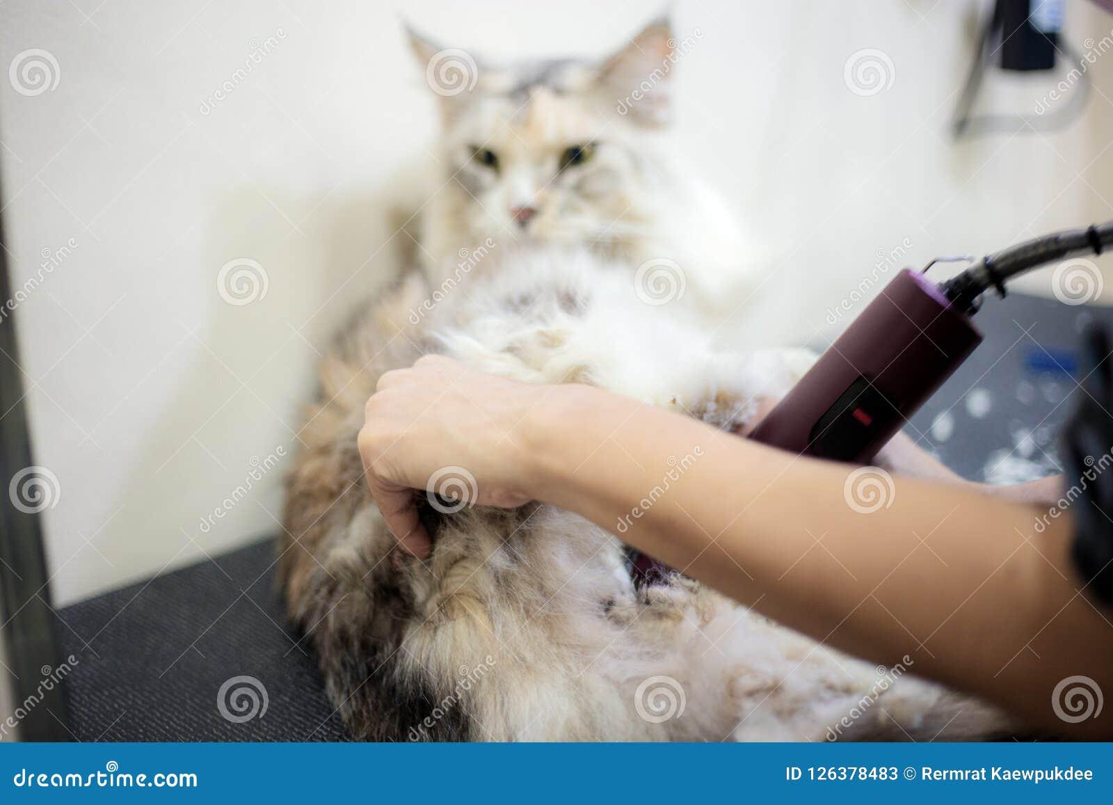 c3f96f9032d1 Τέμνουσα τρίχα γυναικών μια γάτα Στοκ Εικόνα - εικόνα από ισπανικός ...