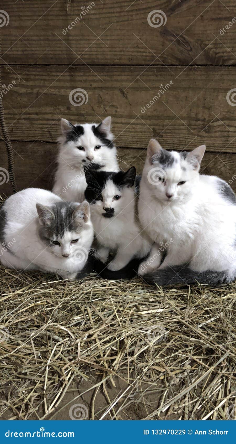 τέσσερα γατάκια