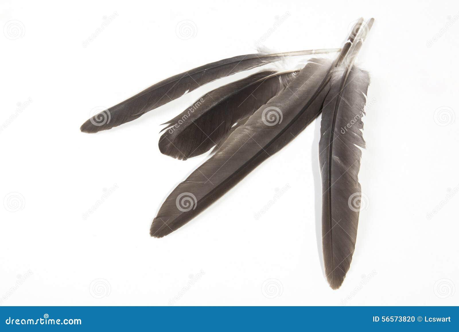 Download Τέσσερα γκρίζα φτερά πουλιών με τα δειγμένα καλάμια στο λευκό Στοκ Εικόνες - εικόνα από σύσταση, φυσικός: 56573820