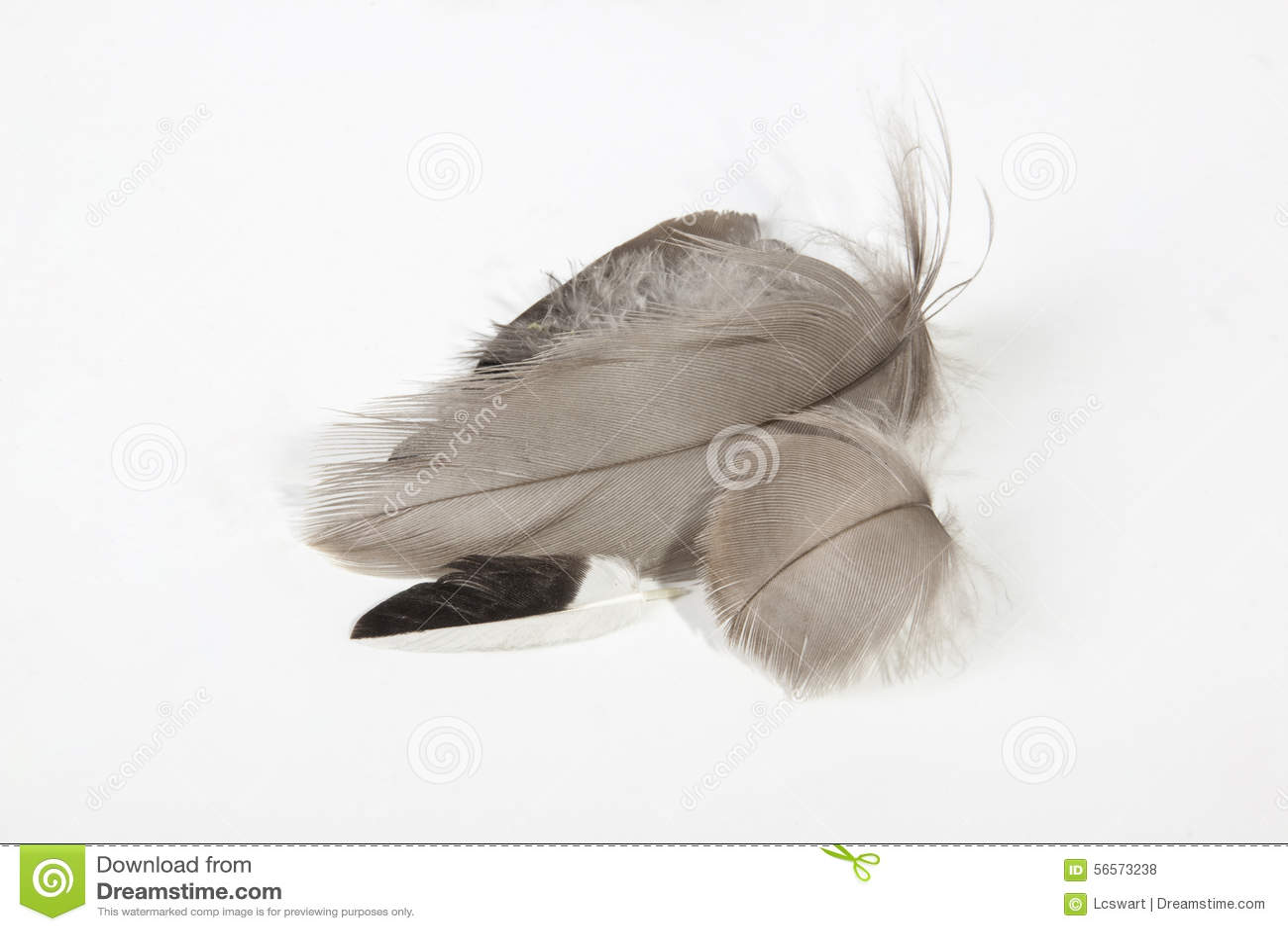 Download Τέσσερα μικρά λεπτόκοκκα γκρίζα φτερά στο λευκό Στοκ Εικόνες - εικόνα από απομονωμένος, εύθραυστος: 56573238