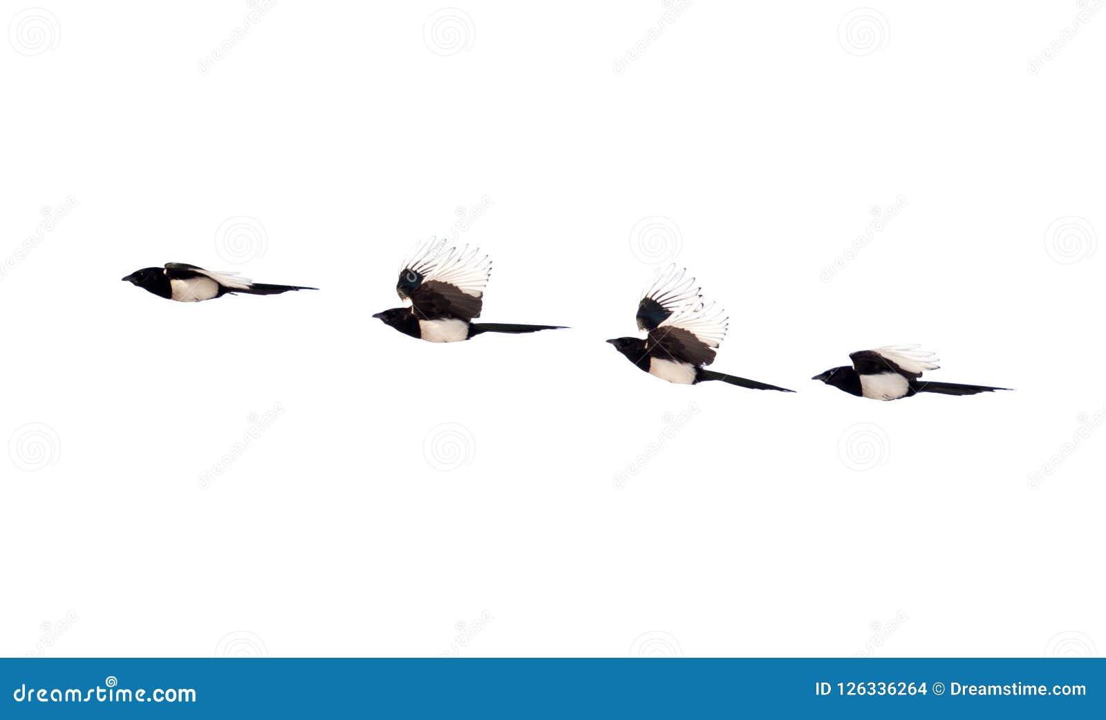 Τέσσερα πουλιά σαράντα που απομονώνονται σε ένα άσπρο υπόβαθρο