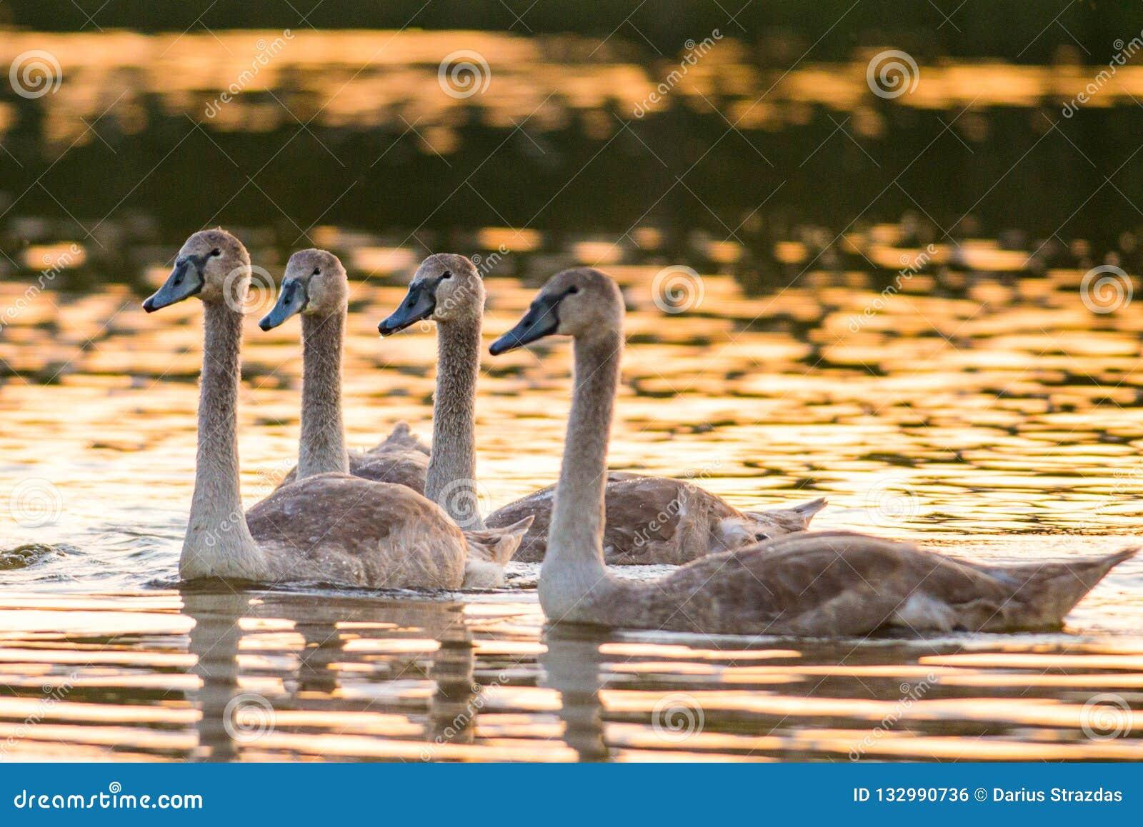 Τέσσερις νέοι βουβόκυκνοι στη λίμνη