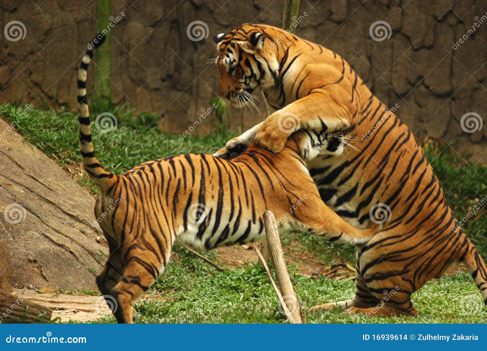 τίγρες