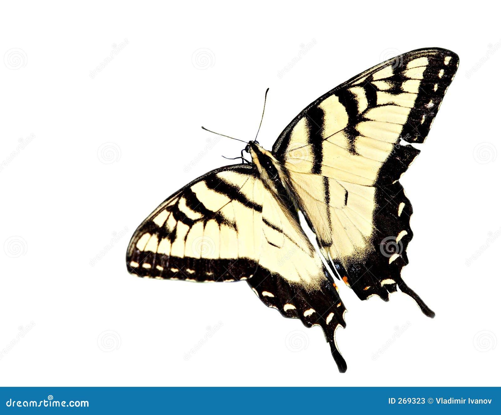 τίγρη Πάσχας swallowtail