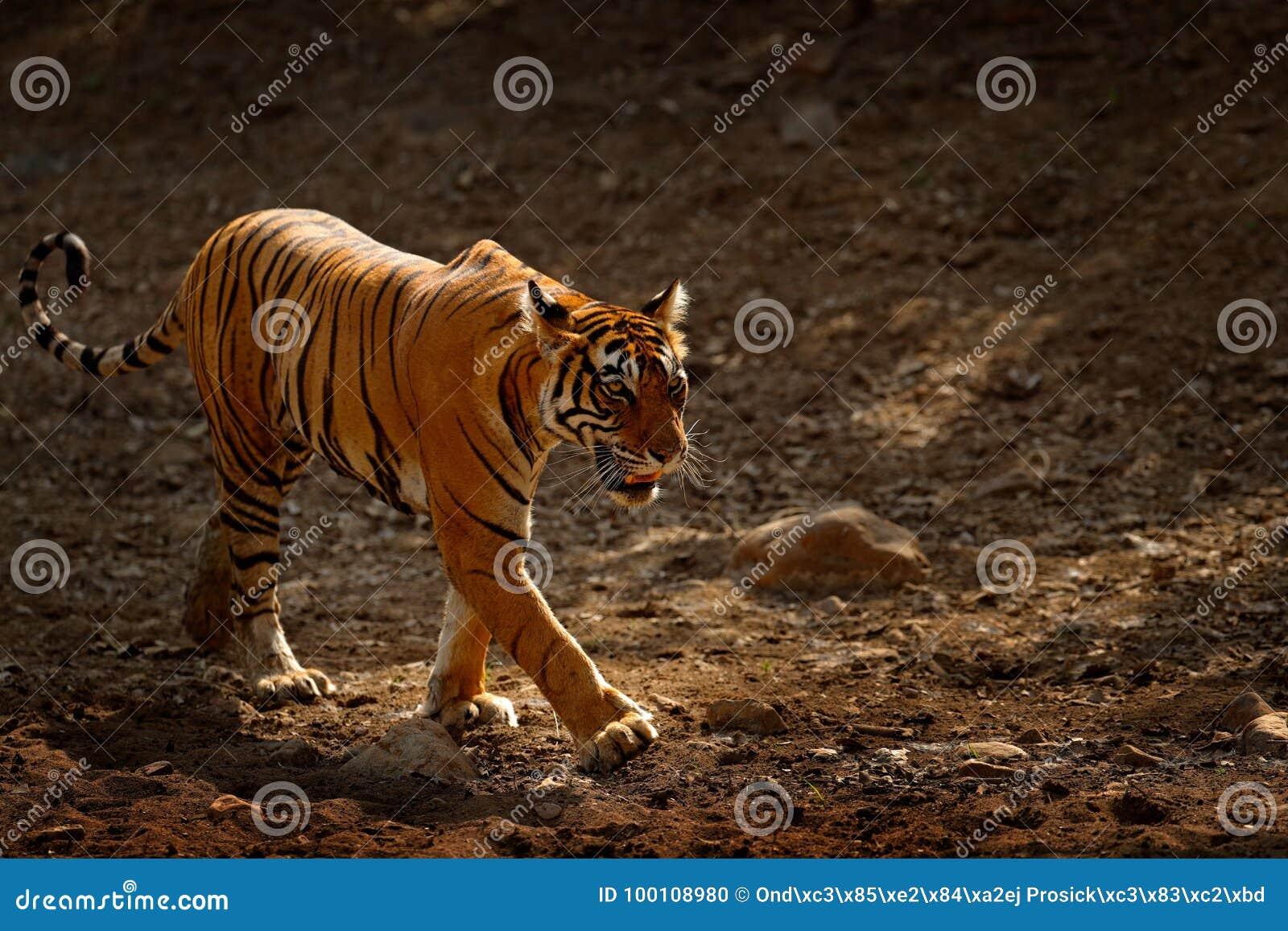 Τίγρη που περπατά στο δρόμο αμμοχάλικου Ινδικό θηλυκό τιγρών με την πρώτη βροχή, άγριο ζώο στο βιότοπο φύσης, Ranthambore, Ινδία