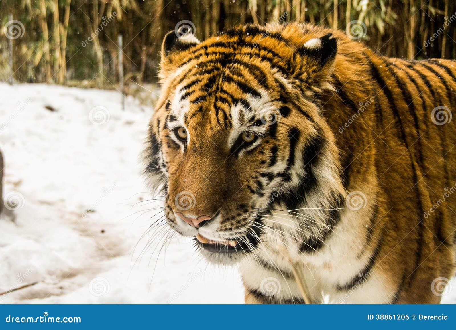 Τίγρη στο ζωολογικό κήπο Bronx