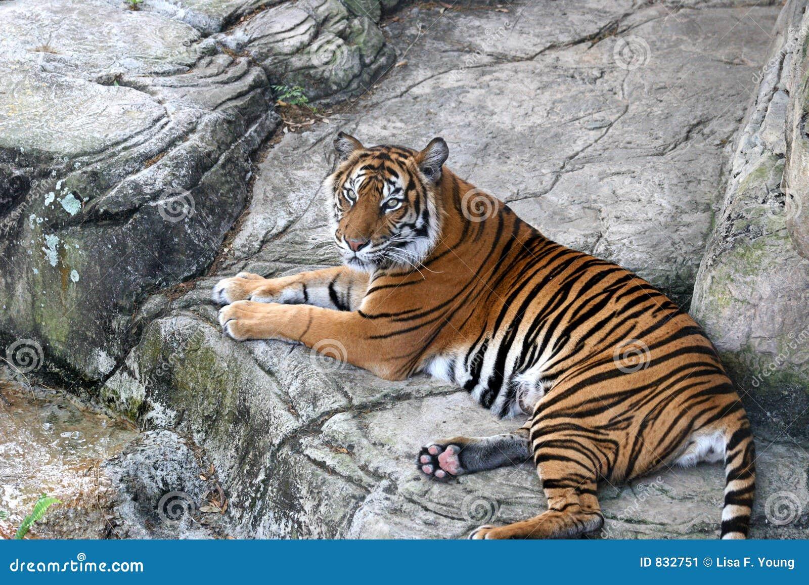 τίγρη υπολοίπου