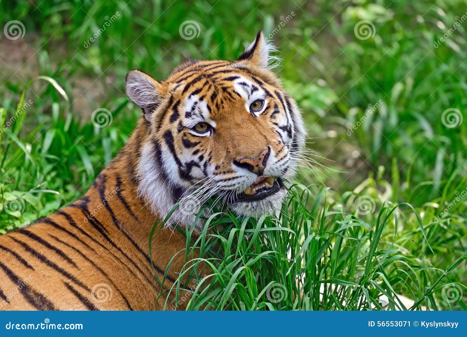 Download Τίγρη στοκ εικόνα. εικόνα από πλανήτης, predators, θέματα - 56553071