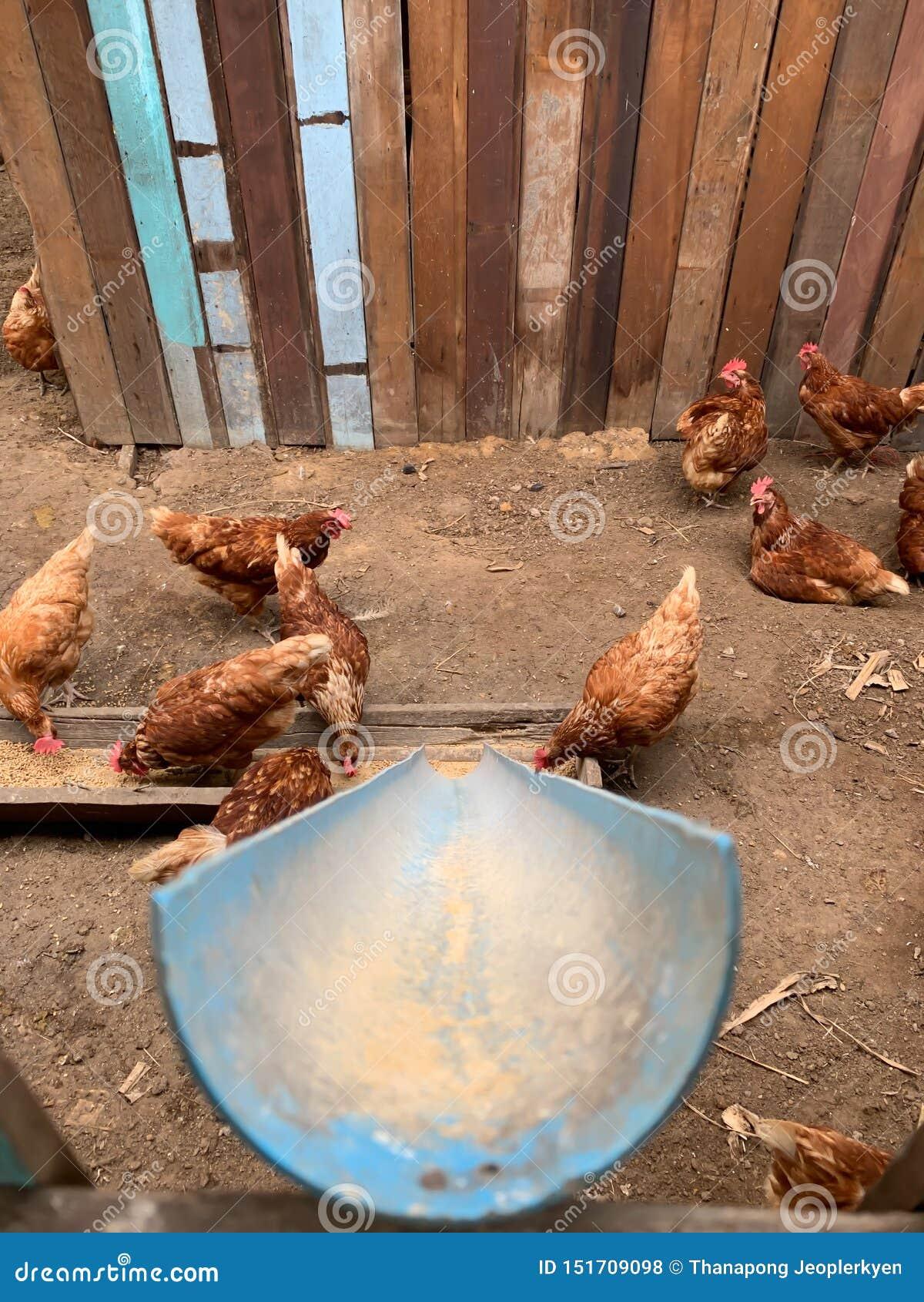Ταΐζοντας κότα ραγών στο αγρόκτημα