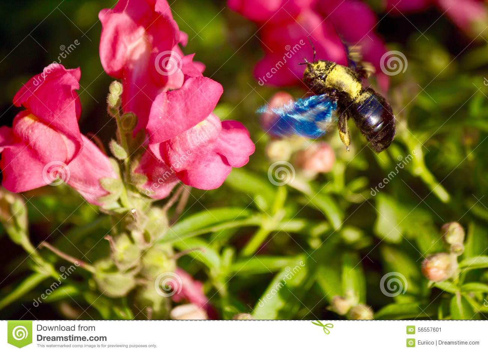Download Τακτοποίηση μελισσών σε ένα λουλούδι Στοκ Εικόνα - εικόνα από μελισσών, νέκταρ: 56557601