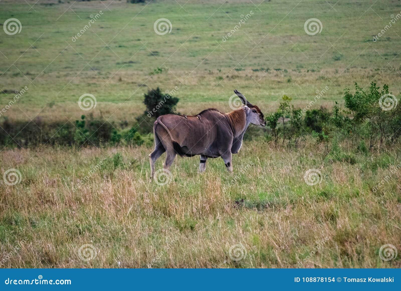 Ταυρότραγος στην εθνική επιφύλαξη Maasai Mara, εθνικό πάρκο Κένυα