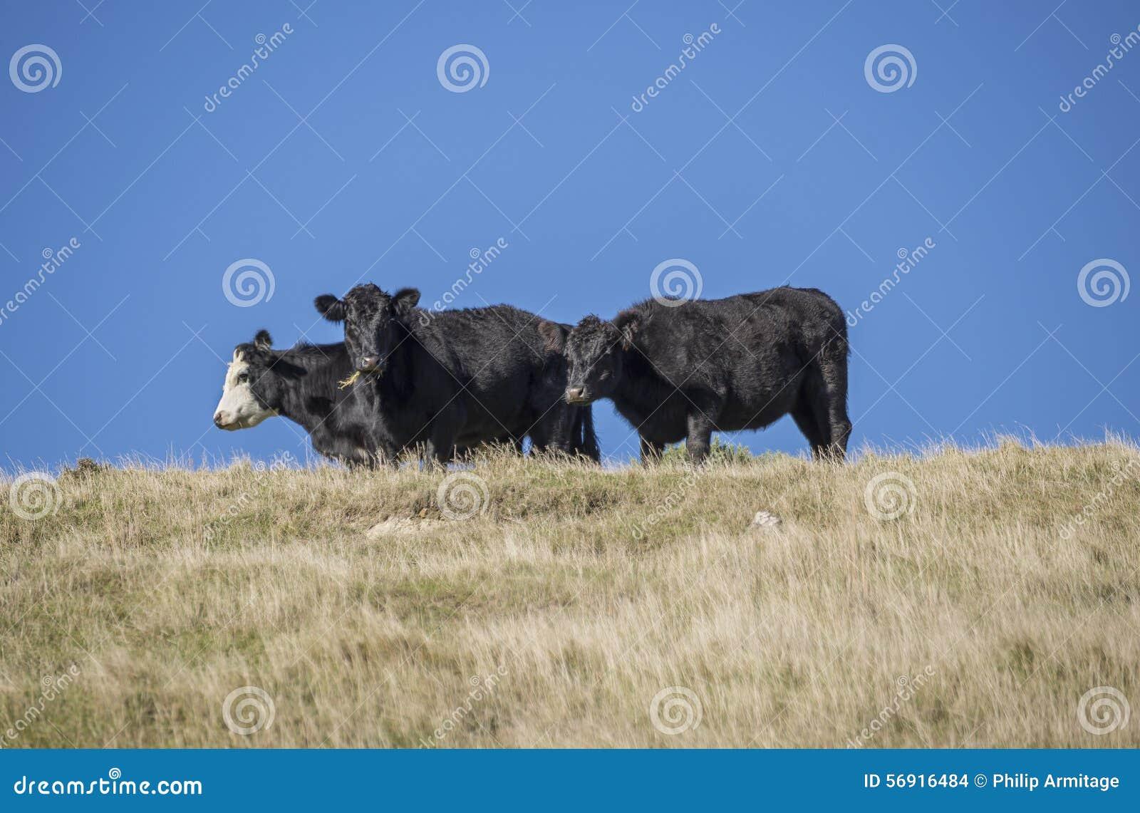 3 ταύροι σε μια κορυφογραμμή