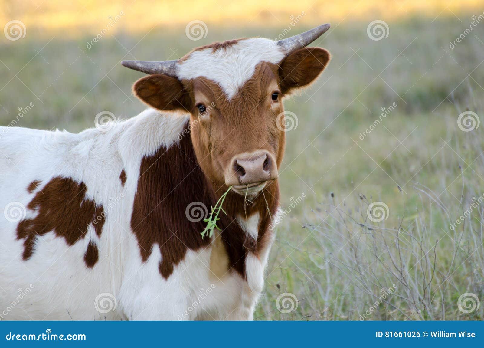 Ταύρος του Τέξας μωρών longhorn, Driftwood Τέξας