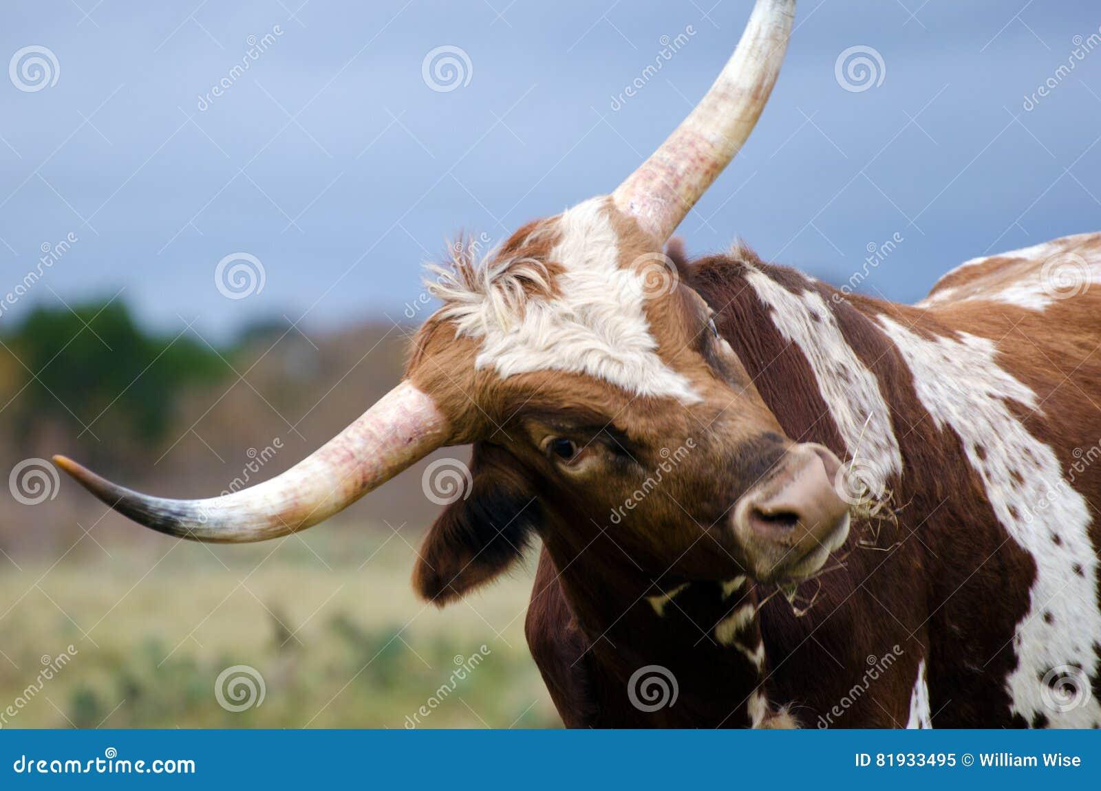 Ταύρος του Τέξας longhorn, Driftwood Τέξας